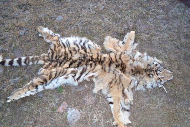 Шкуру амурского тигра отыскали работники ФСБ наферме вПриморье