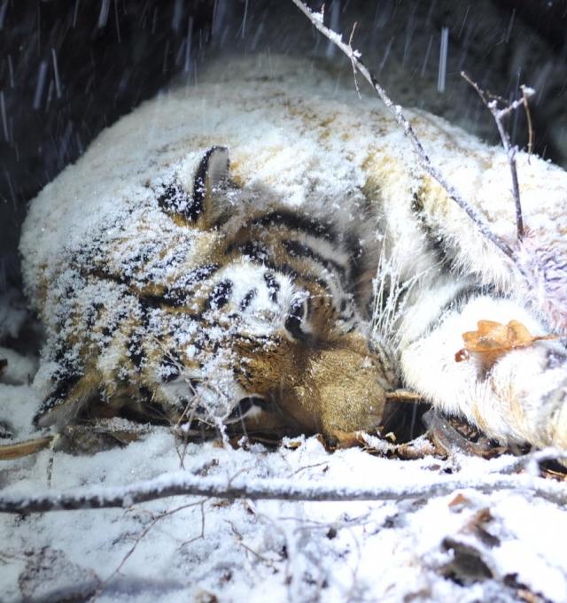 Житель  Китайская народная республика  осужден вПриморье занезаконное хранение костей амурского тигра