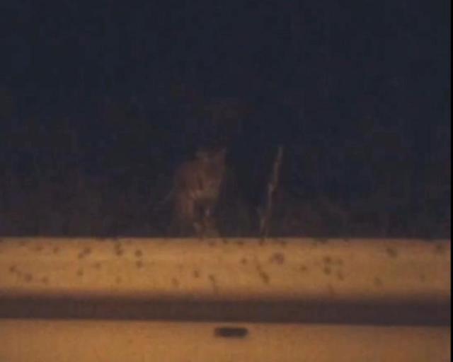 Видео сразгуливающим поВладивостоку амурским тигром выложили вИнтернет